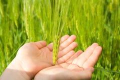 касающая пшеница Стоковая Фотография