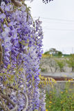 Каскад цветков глицинии Стоковая Фотография