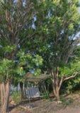 Качание в деревьях ягоды мыла юго-запада Стоковая Фотография