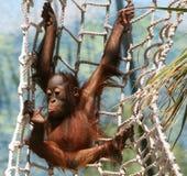 качание гориллы Стоковое Изображение