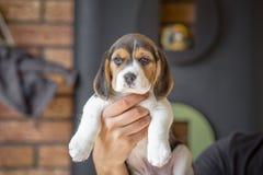 качество щенка высокого изображения формы beagle maximal сырцовое снятое разрешение unfiltered unsharpen было Стоковая Фотография