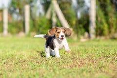 качество щенка высокого изображения формы beagle maximal сырцовое снятое разрешение unfiltered unsharpen было Стоковые Изображения RF
