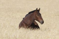 Каштановая дикая лошадь в покое Стоковые Фотографии RF