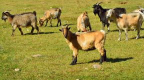 Каштановая коза Стоковые Изображения RF