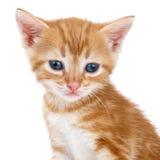 Каштановый striped котенок сидит на белой предпосылке Стоковое Изображение RF