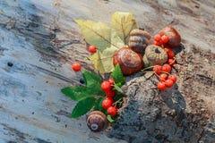 Каштаны, жолуди и красная калина на старой корке Стоковое Фото