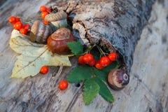 Каштаны, жолуди и красная калина на старой корке Стоковые Изображения RF