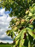 Каштаны конские на дереве Стоковые Фото