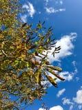 Каштаны конские на дереве Стоковая Фотография RF
