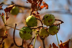 Каштаны на дереве Стоковое Изображение