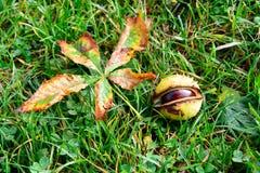 Каштаны на траве Стоковые Изображения RF