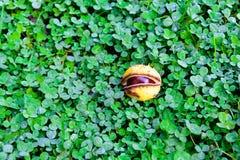 Каштаны на траве Стоковые Изображения