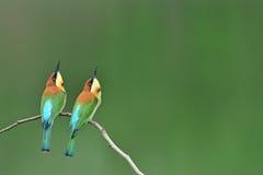 Каштан возглавил Пчел-едока садясь на насест на ветви с зеленым цветом как Стоковое фото RF