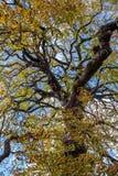 Каштан выходит autum Гайд-парка Лондона Великобритании предпосылки осени Стоковое Фото