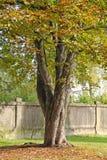 Каштан в парке Стоковые Изображения RF