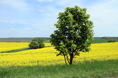 Каштан в поле цветя рапса семени масличной культуры Стоковое Фото