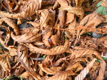 Каштан в упаденных желтых листьях Стоковое Изображение