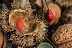 Каштан, гайки и ягоды стоковые изображения rf