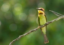 Каштан-головый пчел-едок, зеленая птица садится на насест на ветви с естественной, зеленой предпосылкой леса Стоковые Фотографии RF