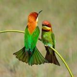 Каштан-головый Пчел-едок Стоковые Фото