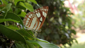 Каштан-исчерченная бабочка матроса в Керале Стоковое Фото