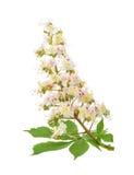 Каштан конский (hippocastanum Aesculus, дерево плода конского каштана) цветет iso Стоковое фото RF