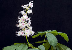 Каштан конский & x28; Hippocastanum Aesculus, tree& x29 плода конского каштана; цветки и Стоковая Фотография
