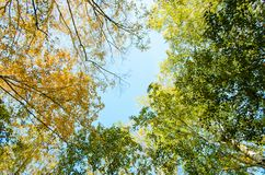 Каштан осени желтый и зеленый дерева на предпосылке неба верхняя часть взгляда стоковая фотография