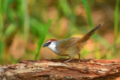 Каштан-покрытая птица пустозвона Стоковое фото RF