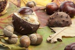 Каштан, плод конского каштана, предпосылка осени жолудей Стоковая Фотография