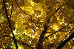 Каштан с желтыми листьями Стоковое Фото