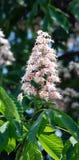 каштан цветений Стоковое Изображение RF