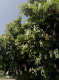 Каштан blossomed Стоковое Фото