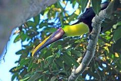 Каштан mandibled или Swainson Toucan сидя на ветви Стоковое Изображение