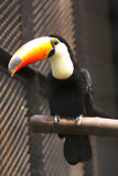 каштан mandibled toucan Стоковые Фото