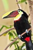 каштан mandibled toucan Стоковые Изображения RF