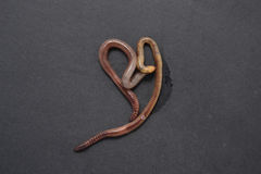 Калифорнийский красный earthworm Стоковое фото RF
