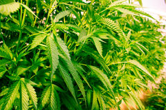 Калифорния мечтая медицинская марихуана Стоковые Фото