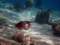 Кальмар рифа в красном цвете Стоковые Фотографии RF