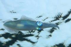 кальмар рифа bigfin Стоковая Фотография RF
