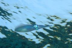 кальмар рифа bigfin Стоковое Фото