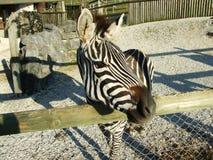 Квагга Equus зебры равнин или burchellii Equus, общая зебра, зебра Burchell, или квагга или Das Grantzebra стоковая фотография