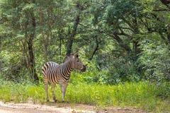 Квагга Equus зебры Burchells Стоковая Фотография