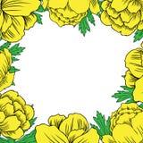 Квадратное asiaticus Trollius рамки цветет, вектор Globeflower или Kupavna нарисованный рукой изолированный на белой предпосылке Стоковое Фото
