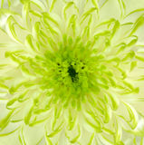 квадрат известки зеленого цвета цветка хризантемы backround Стоковые Изображения RF