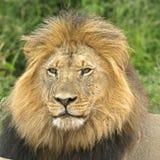 квадрат льва Стоковое Изображение