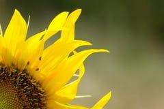 Квартал солнцецвета Стоковые Изображения