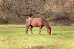 Квартальная лошадь ждать снаружи и ест портрет травы Стоковые Изображения RF