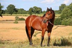 Квартальный портрет лошади Стоковое Фото