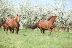 2 квартальных лошади бежать перед цветя деревьями Стоковая Фотография RF